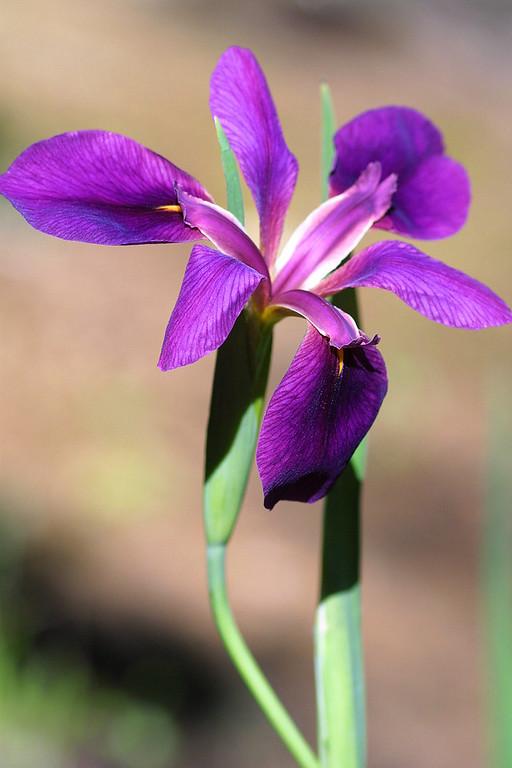 Iris, Iris hexagona