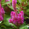 Celosia, Celosia cristata