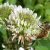 White Clover, Trifolium repens