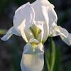 White Iris, Iris sp.