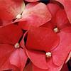 Hydrangea Flowers, Hydrangea macrophylla
