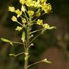 Tansy Mustard, Descurainia pinnata