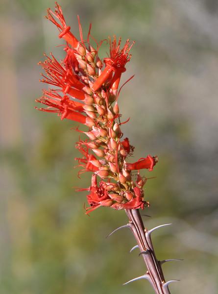 Ocotillo, Fouquieria splendens