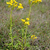 Butterweed, Senecio imparipinnatus (S. tampicana, Packera tampicana)