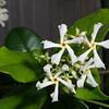 Confederate Jasmine, Trachelospermum jasminoides
