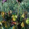 Pitcher Plants, Sarracenia purpurea
