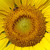 Cultivated Sunflower, Helianthus annuus