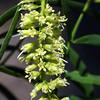 Mesquite Tree, Prosopis juliflora