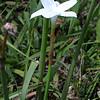 Rain Lily, Cooperia pedunculata