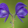 Larkspur monkshood, Aconitum delphinifolium