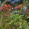 Dwarf poinciana, Caesalpinia pulcheerrima