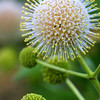 Buttonbush, Cephalanthus occidentalis