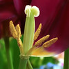 Tulip pistil and stamens, Tulipa sp.