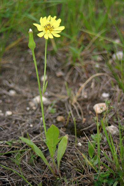 Texas Dandelion, Pyrrhopappus multicaulis