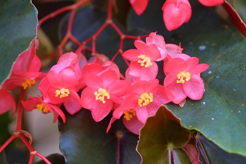 Begonia, Begonia sp.
