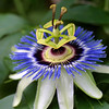 Passion Flower, Passiflora caerula,, central Texas