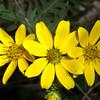 Engelmann's daisy,   Engelmannia peristenia