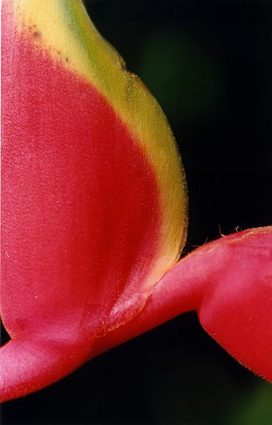 Heliconia, Heliconia rostrata