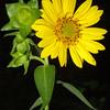 Rosinweed, Silphium sp.