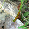 Coconut palm, Cocos nucifera