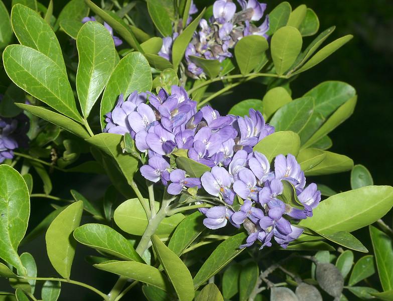 Texas Mountain Laurel, Sophora secundiflora