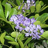Texas Mountain Laurel, Sophora secundiflora