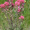 Prairie Paintbrush, Castilleja purpurea