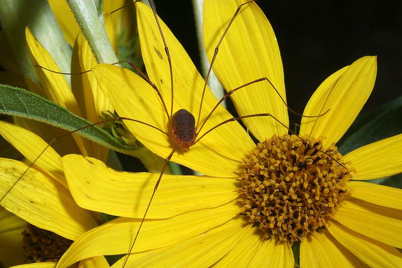 Daddy Longlegs on Sunflower, Helianthus maximiliani