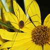 Daddy Longlegs on Sunflower, Helianthus maximiliani