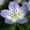 Baby Blue-Eyes, Nemophila phacelioides