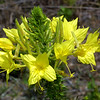 Four Point Evening Primrose, Oenothera rhombipetala