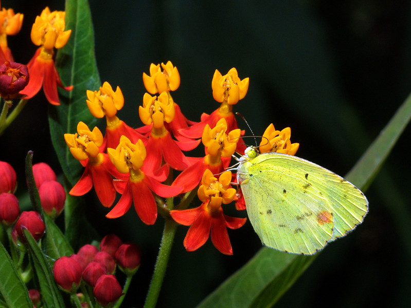 Little Yellow, Eurema lisa
