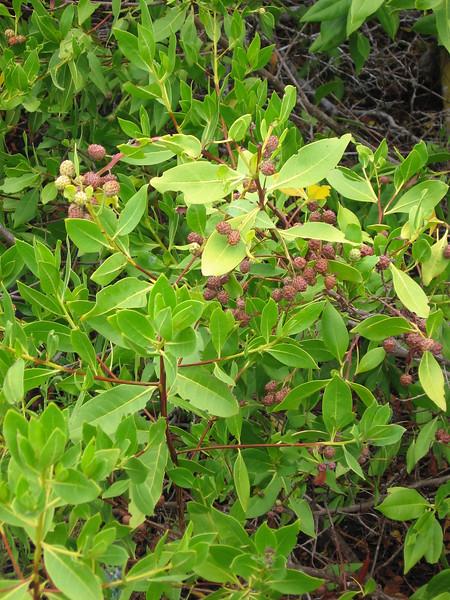Button Mangrove, Conocarpus erectus