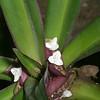 Purple-leafed spiderwort, Rhoeo spathacea