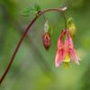 Wild Canadian columbine, Aquilegia canadensis