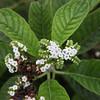 Heliotrope, Heliotropium angiospermum