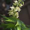 Oleander Leaf c.s., Nerium oleander