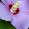 Rose of Sharon, AltheaHibiscus syriacus