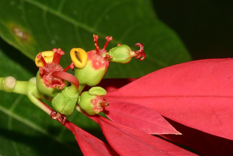 Poinsettia, Euphorbia pulcherrima