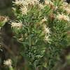 Brickell-Bush, Brickellia cylindricea