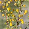 White thorn acacia, Acacia constrica