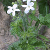 Bull Nettle, Cnidoscolus texanus