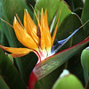 Bird of Paradise, Strelitzia reginae