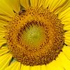 Cultivated Sunflower, Helianthus annuus