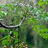 Chinaberry, Melia azedarach