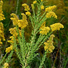 Golden Rod, Solidago sp.