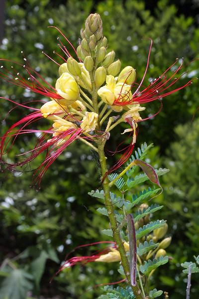 Bird-of-Paradise, Caesalpinia gilliesii