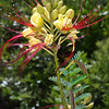 Bird-of-Paradise, Caesalpinia gilliesii