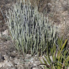 Candelilla, Wax plant, Euphorbi antisyphilitica