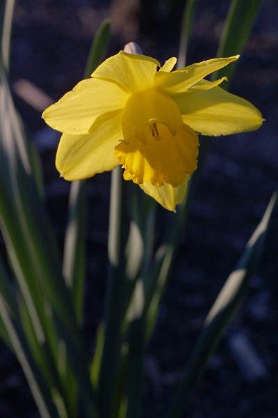 Daffodil, Narcissus sp.
